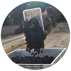 Scheid Harvest Grape Dump Round